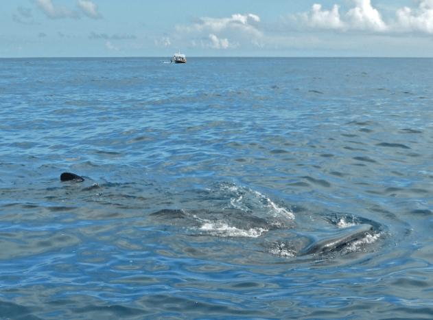 Whale shark feeding Cancun