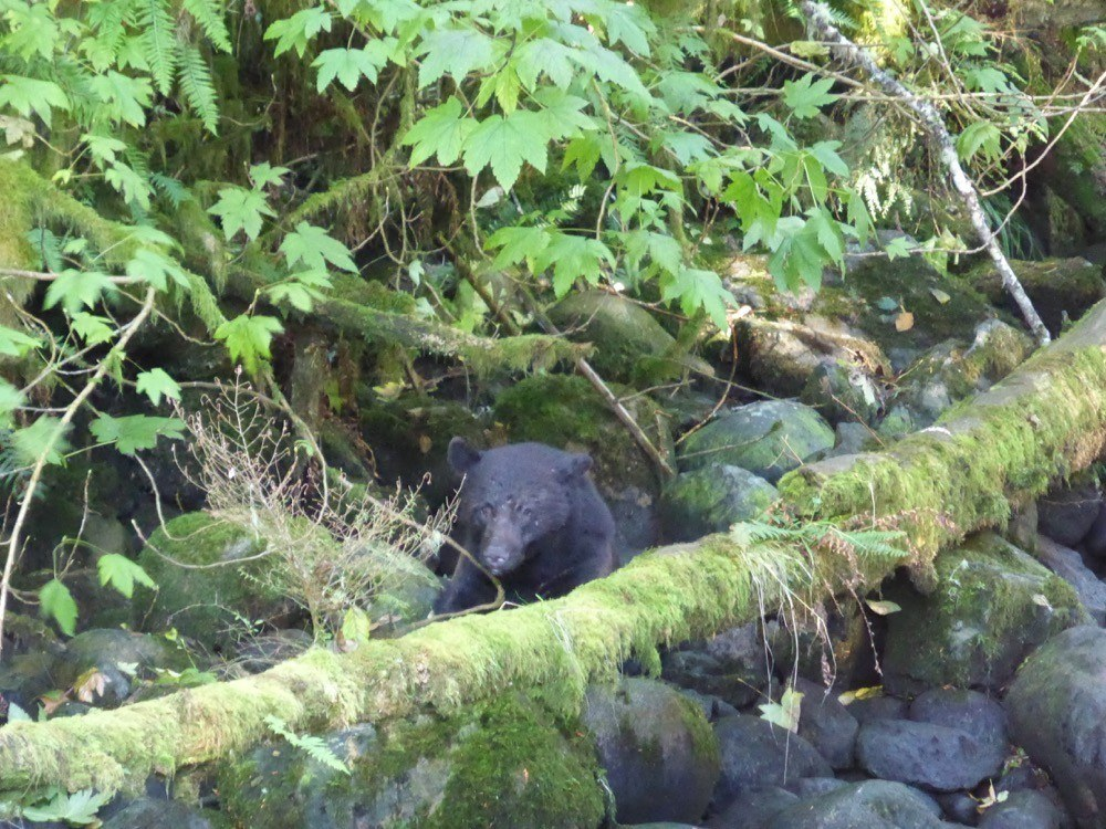 Bear Watching Tofino and Ucluelet