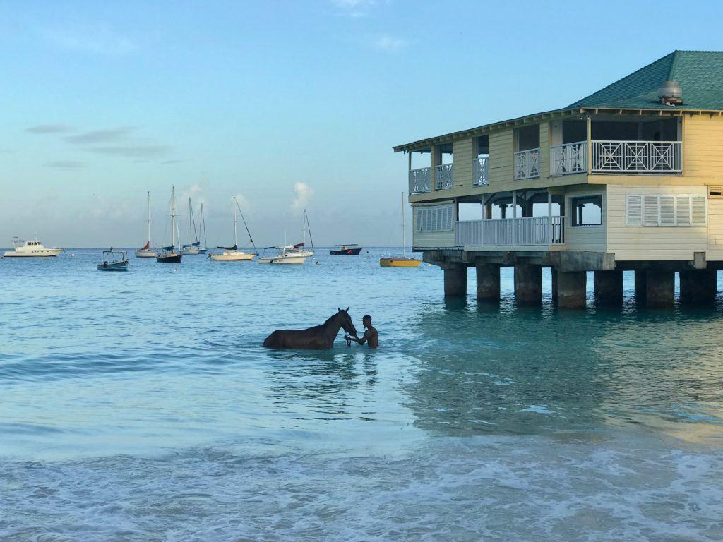 Swimming Horses Barbados