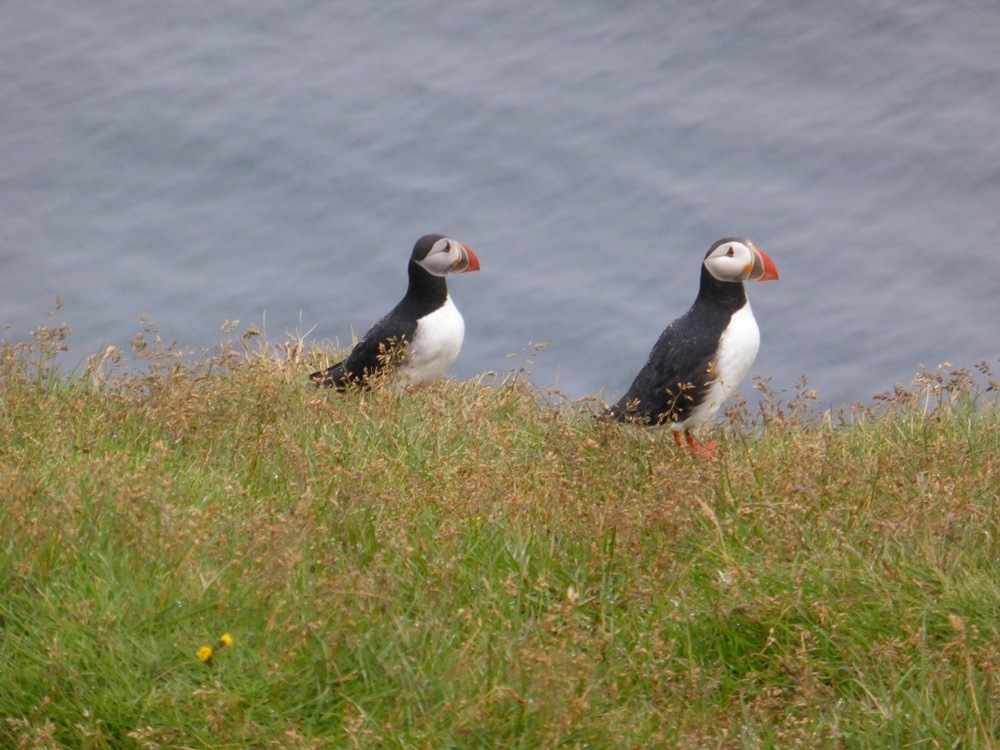 Puffins in Iceland - Westman Islands