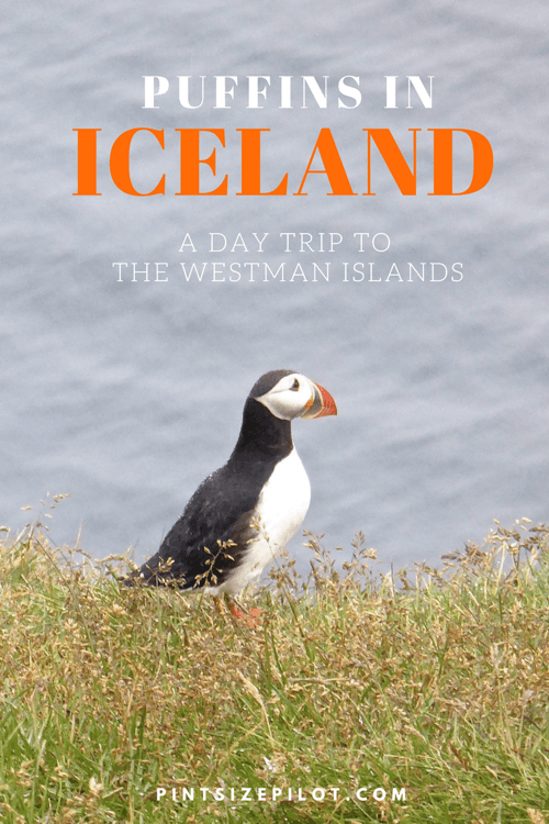 Finding Puffins in Icleand