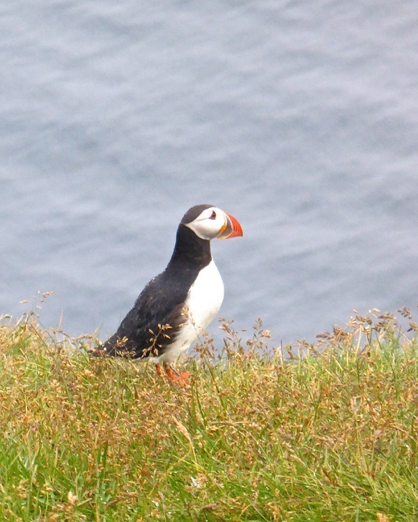 Puffins in Iceland – A Day Trip to the Westman Islands