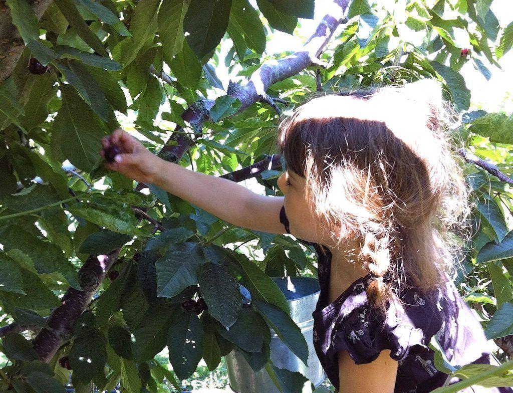 Fruit picking in Kelowna