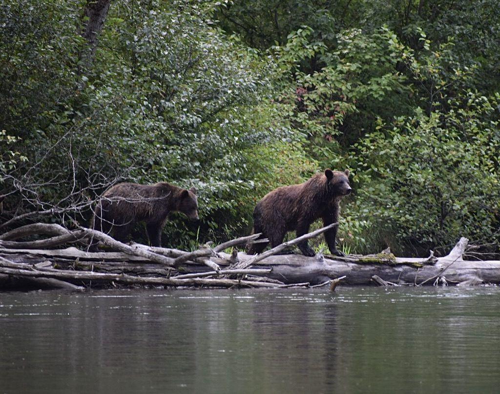 Bella Coola Bears