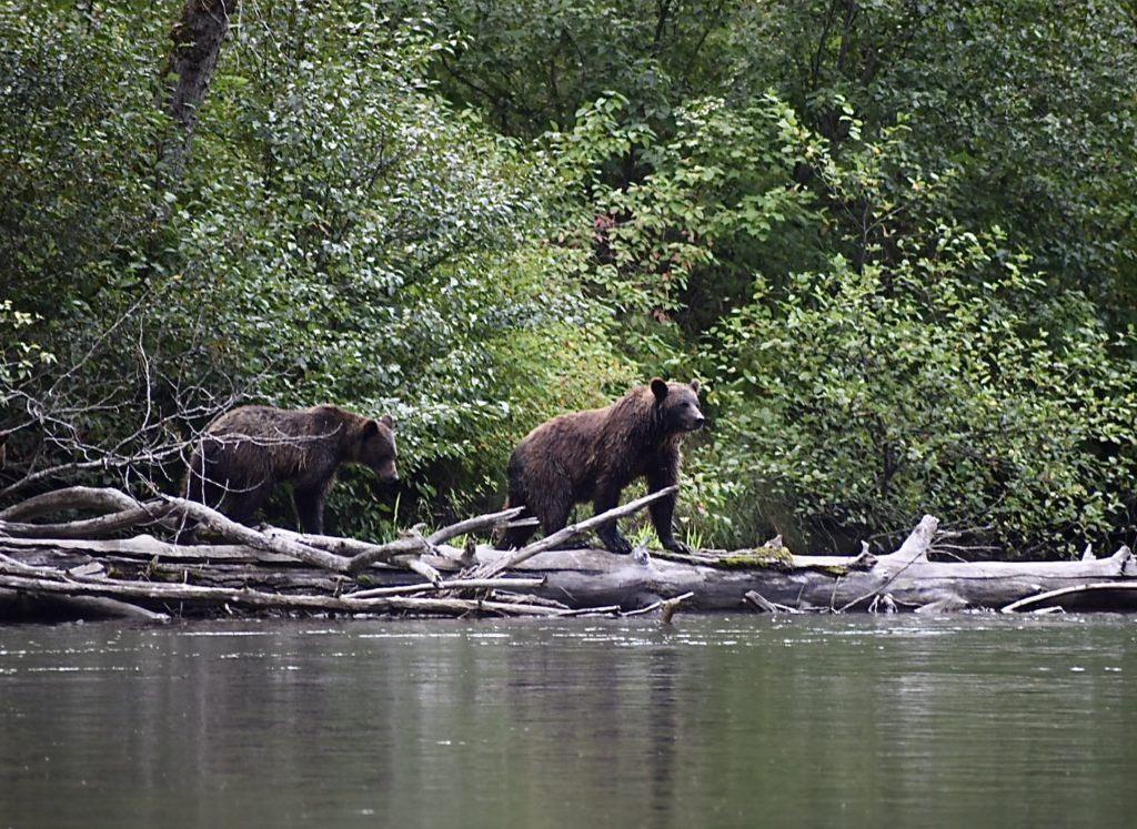 BC Grizzly Bear Tours