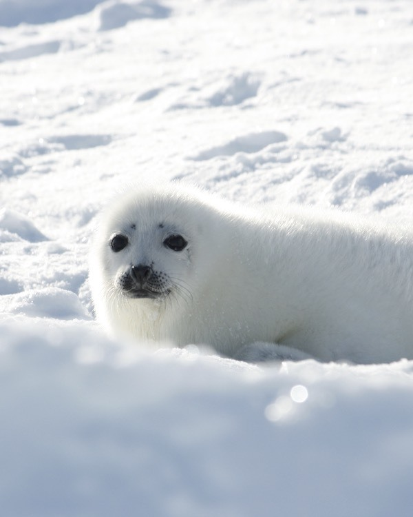 How to See Harp Seal Pups in Canada