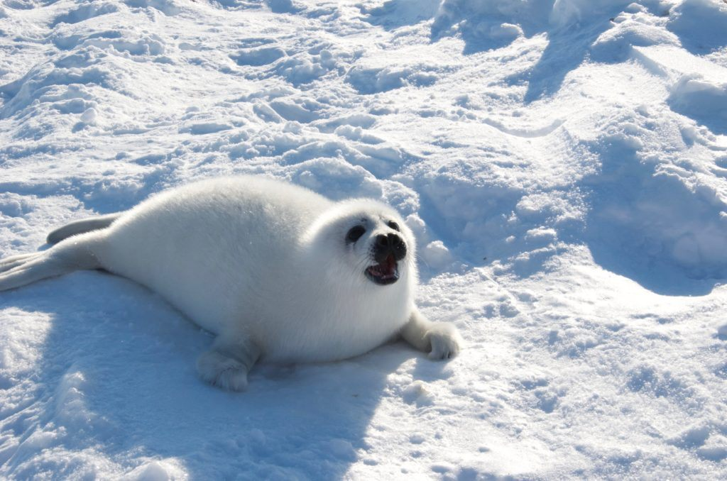 Baby Harp Seal on Ice Pack