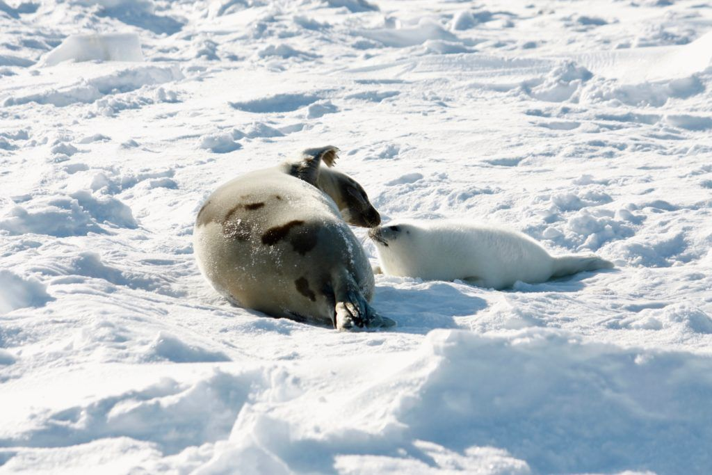 Mother harp seal with pup