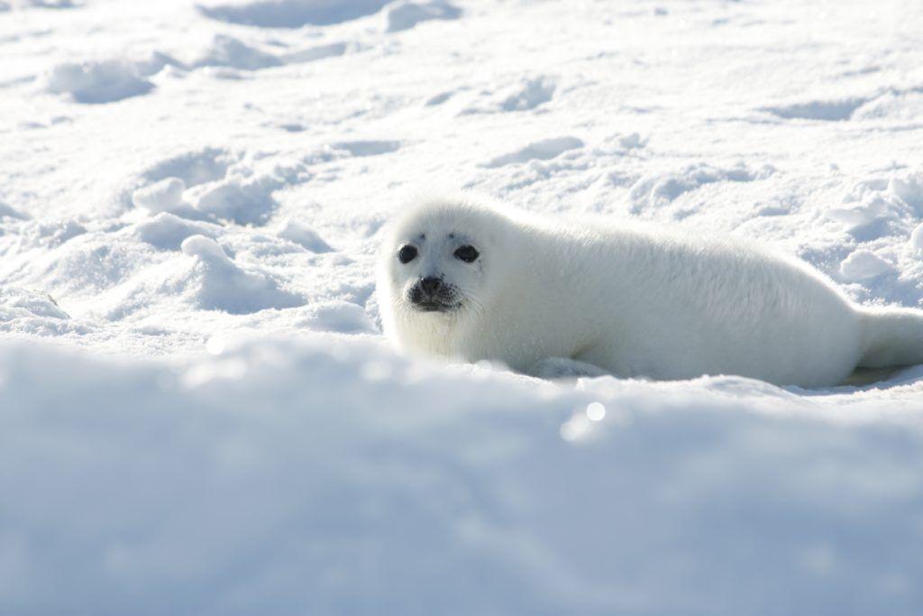 Harp seal pup on ice - Magdalen Islands, Quebec