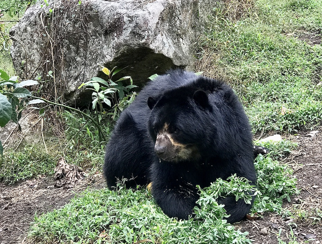 Spectacled Bears Inkaterra Machu Picchu Pueblo